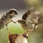 kung-fu-sparrows_1686034i